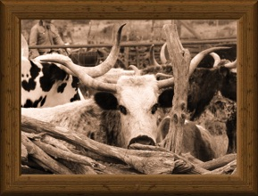 sepia-tone headshot of traditional Texas Longhorn cow Lely Blue