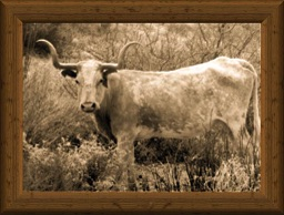 Sepia-tone portrait of a traditional, old-timey longhorn cow Lely Ranch 1