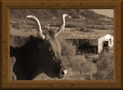Sepia-tone headshot of an old-timey longhorn cow Miss Yates 11/6